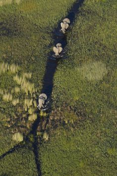 We came across these elephants walking through the waterways of the southern Okavango early one morning. Our aircraft was so quiet that they didn't even glance up as we passed over them. Jay Roode, photographer.