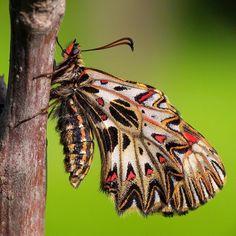 832 отметок «Нравится», 12 комментариев — Adam Gor (@goradam) в Instagram: «#zerynthia #polyxena #butterfly #kelebek #lepidoptera #insect #papilionidae #art #nature #macro…»