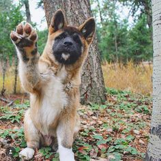 High five from Beo the American Akita puppy! Follow this cutie's adventures on @big_boy_beo! . Don't forget to tag your photos to #ink361_cute for a chance to be featured. by ink361