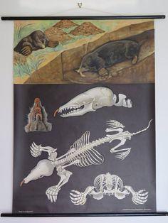 Vintage School chart of EUROPEAN MOLE by Jung Koch Quentell German roll down zoology chart European Mole, Anatomy Models, Wooden Poles, Pea Flower, Vintage School, Zoology, Shovel, Skeleton, Handmade Items