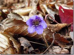 """Képtalálat a következőre: """"kék színű hét szirmú erdei virág"""""""