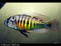 Lipochromis cf. 'melanopterus'