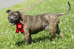 Meeka D-53027 **Pooch with Perks** is an adoptable American Staffordshire Terrier Dog in Mount Holly, NJ.   Meet Meeka, a sweet and well behaved beauty.   Meeka was sadly surrendered by her family who...