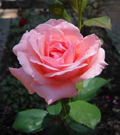 """Queen Elizabeth Rose"" No English garden is complete without this beauty!"