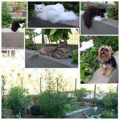 meus pets na horta