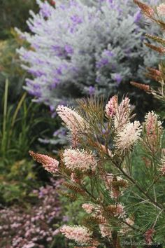 Recently when I judged The 68th Chronicle Garden Competition, preceding Toowoomba's Carnival of Flowers, I chose 'Terrara', a garden growing mainly Australian native plants as Gra…