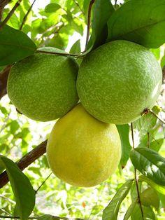 The Health Benefits of Araza Fruit (Eugenia stipitata) Fruit And Veg, Fruits And Vegetables, Fresh Fruit, Fruit Plants, Fruit Trees, Weird Fruit, Beautiful Fruits, Variety Of Fruits, Tropical Fruits