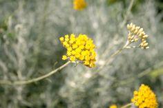 June 2013 - Helicrisum italicum