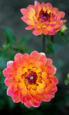 ~~Bonnie and Blithe | Pam Howden Waterlily Dahlia, peachy-orange petals with hints of fuchsia and a glowing yellow center. a stunning waterlily dahlia | by Robin Evans~~