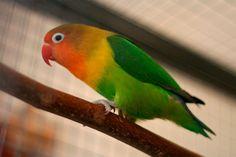 Inseparable de Fischer (Agapornis fischeri) -->  De 12,7 a 15 cm de longitud y un peso entre 42 y 58 gramos.  Tiene una banda frontal, los lores y las mejillas de color rojo brillante con un sombreado rojo anaranjado en la barbilla y garganta. La parte superior del pecho es de color amarillo anaranjado; corona y nuca son de color marrón. Un ancho collar marrón amarillento contiguo y una banda de color naranja amarillento ...