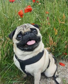 Cute Baby Pugs, Baby Pug Dog, Cute Pug Puppies, Black Pug Puppies, Cute Baby Animals, Pet Dogs, Dogs And Puppies, Pets, Terrier Puppies