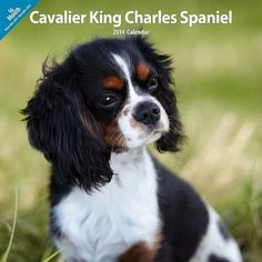 The look of wonderment: Cavalier King Charles Spaniel Cavalier King Charles Spaniel - Tri Color Cavalier King Charles Spaniel, Spaniel Puppies, Poodle Puppies, Lab Puppies, Cat Memorial, Kawaii, Animals Beautiful, Black Labs, Black Labrador