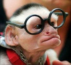 Whats cooler than a monkey with glasses?