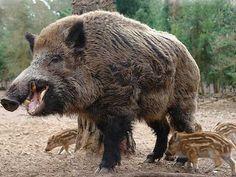 http://www.sanctuariesindia.com/wp-content/gallery/wild-boar-wildlife-2/wild-boar-wildlife-25.jpg