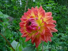 Quality dahlias grown in Washington State. We sell single dahlia tubers and dahlia bulbs that are true to name, guaranteed to grow and are free from viruses and diseases. Growing Dahlias, Washington State, Bulbs, Garden, Flowers, Plants, Couple, Building, El Dorado