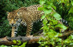 Holzfäller und Rinderzüchter fallen in eines der letzten Regenwaldgebiete Mexikos ein, mit Duldung der Politiker. Im Wald von Los Chimalapas leben viele bedrohte Arten. Er ist auch die Heimat der Zoque-Indianer, die die Natur und Artenvielfalt bis heute erhalten und verteidigt haben. Bitte unterzeichnen Sie die Petition an die Regierung: https://www.regenwald.org/aktion/990/mexiko-wir-verteidigen-unseren-regenwald