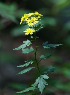 제가 요런 종류에 꽃을 넘나 이뻐 합니다. 감국,산국,쑥부쟁이,구절초~~~등등... 이 꽃들에 공통...