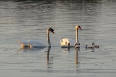 Swans. :)