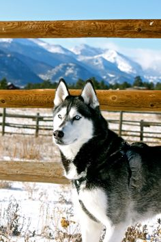 Siberian Husky. They are so awesome looking, and fiercely loyal to caring owner.
