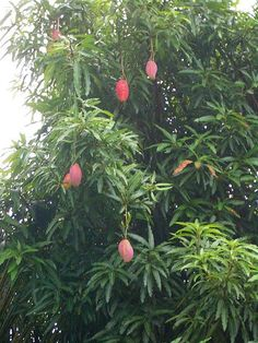 mango tree - we had a huge one in the back corner of our Kennedy Tce home - and they were delicious mangoes.
