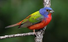 Male Painted Buntings appear to have actually flown right out of a kid's coloring publication. Ladies and immatures are a distinct bright green with a pale eyering.  These rather usual finches reproduce in the seaside Southeast as well as in the south-central UNITED STATE, where they typically involve feeders. They are commonly caught and also offered illegally as cage birds, particularly in Mexico and also the Caribbean, a practice that puts pressure on their reproducing populaces.