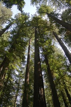 Giant Redwoods of Humboldt County, California