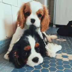 Cavalier King Charles Dog, King Charles Spaniel, Cavalier King Spaniel, King Charles Puppy, Animals And Pets, Funny Animals, Cute Dogs And Puppies, Doggies, Spaniel Puppies