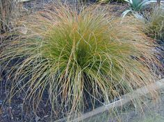 Plant photo of: Carex testacea