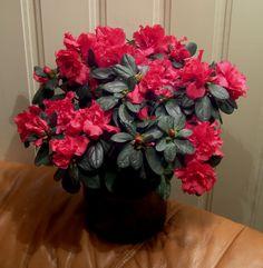 Asalea (Rhododendron simsii-hybrider) hører til i Lyngfamilien / Ericaceae