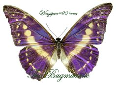 Morphidae BG : Morpho cypris bugaba - The Bugmaniac INSECTS FOR SALE BUTTERFLIES FOR SALE INSECTS FOR SALE BUTTERFLIES FOR SALE BUTTERFLIES BY ECOZONE NEOTROPICAL ECOZONE MORPHINI
