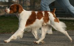 Brittany Spaniel - Our male was handsome, smart, loving and what a hunter!