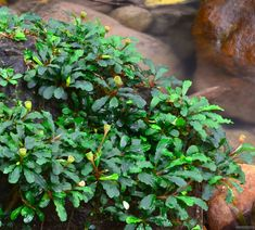 The Aquatic Plant Society – The World of Bucephalandra
