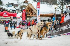 Featuring the best sporting events in the Alps for the winter season. From the top ski events in the Alps to the more strange and wonderful. Why not book a holiday around one of the highlight winter sports events on snow? French Ski Resorts, Luxury Ski Holidays, Top Ski, Ski Season, Husky, Snow Dogs, Snowy Mountains, Winter Sports, Your Dog