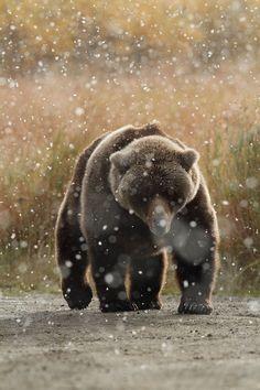 Brown Bear in snow - Katmai National Park - Alaska