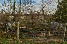 '13/12/12 Laying the hornbeam hedge in my garden @ Flanders fields, Belgium. F. Neirinck.