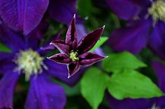 a clematis bloom, emerging