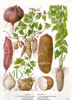 Vintage botánico CAMOTE antiguo imprimir frijol ñame 183, planta botánica la impresión bookplate arte impresión vegetal plantas plantas pared