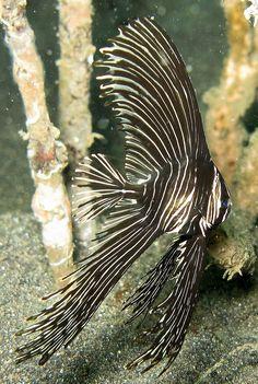 Platax batavianus -- Juvenile Humpback Bat-Fish