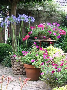 agapanthus and petunias......  I think they're beautiful but mine never bloom :(
