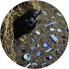 bower bird with his treasures