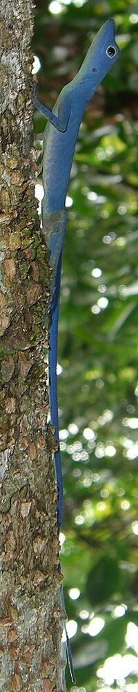 Theblue anole(Anolis gorgonae) is a small, highly threatenedspeciesofpolychrotidlizard. It is found only on the island ofGorgona, in theColombianPacific.