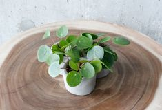 How To Look After Your Pilea Peperomioides: The Definitive Care Tutorial Money Plant Care, Root Structure, Style Urban, Living Vintage, Liquid Fertilizer, Peat Moss, Look After Yourself, Yellow Leaves, Plastic Pots