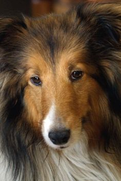 About Dogs - Shetland Sheepdog Rescue Listings