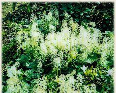 Koop online bij onze tuinplanten webshop de Tiarella cordifolia | Schuimkaars / Perzische muts | Gratis verzending! | Binnen 2-4 werkdagen bezorgd! | Tuinplantenwinkel.nl