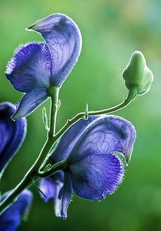 ~~Whispers In Purple ~ sweet peas by Greg Summers~~