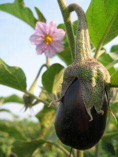 grow the gentle eggplant