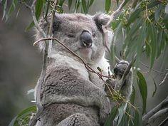Koala Koala Koala