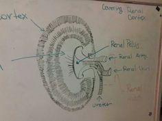 Veterinary medicine kidney