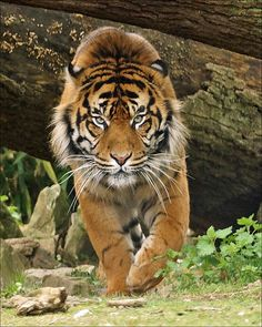 Who are you? I'm Aryo. (Aryo is a young male Sumatran tiger in Burgers Zoo (Arnhem, the Netherlands))