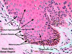 really good histology slides on this website